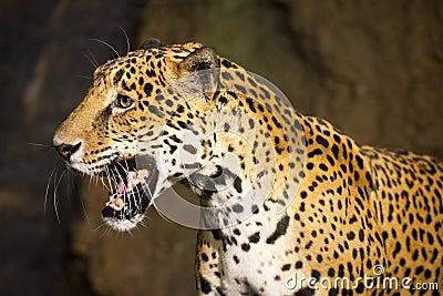 Stort kattdjurlivdjur som är södra - amerikansk jaguar
