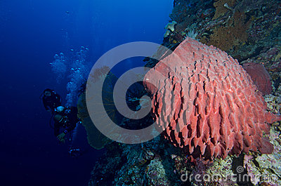 Stove-pipe Sponge and group of divers
