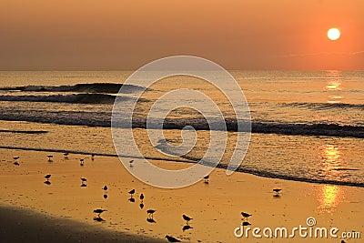 Strandfåglar som förbiser soluppgång