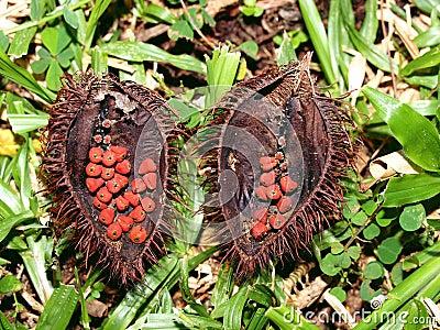 Strange fruit of a tropical tree, Vietnam