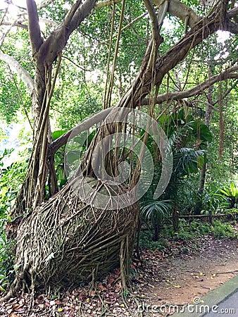Free Strangler Fig Stock Photos - 53473203