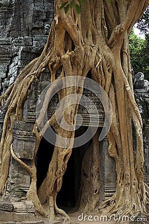 Free Strangler Fig On Temple Entrance Door Stock Photos - 17276853