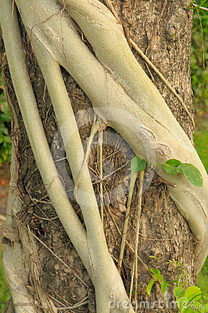 Strangler Fig Roots Strangle A Cypress Tree