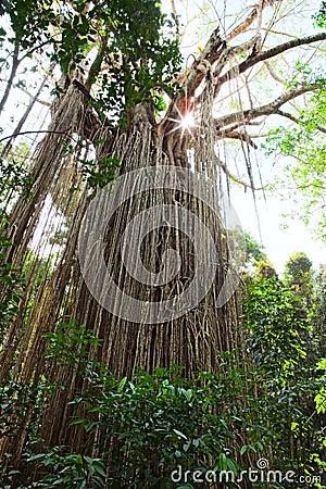 strangler fig tree gigantic rain forest tree