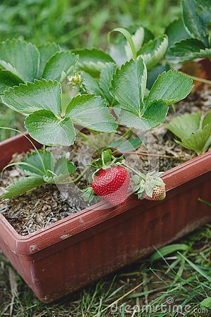 Free Strawberries Stock Photo - 73265150