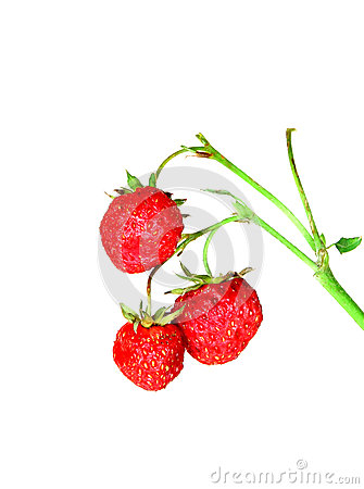 Strawberries on a branch isolated