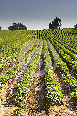 Free Strawberries Furrows In Elyachin, Israel Royalty Free Stock Images - 66573569