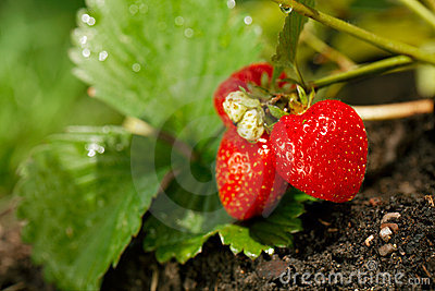 Strawberries growing in the garden soil