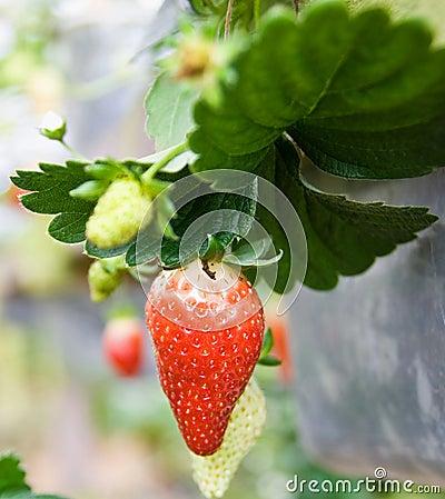 Free Strawberry Royalty Free Stock Photos - 4657878