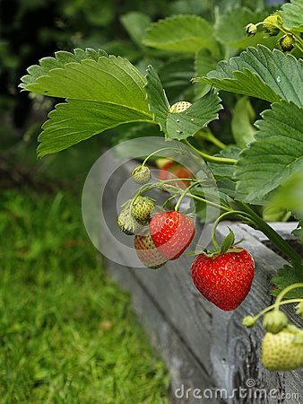 Free Strawberry Stock Images - 87311284