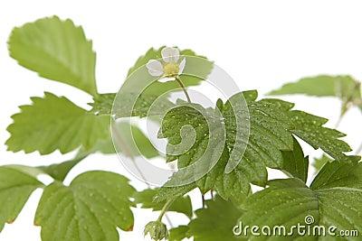 Strawberry baby plant