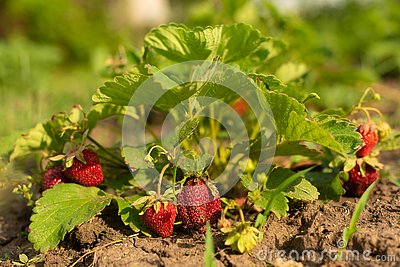 Strawberry bush in growth at garden. Sunset light. Ripe berries and foliage. Fruit production. Smart agriculture, farm Stock Photo