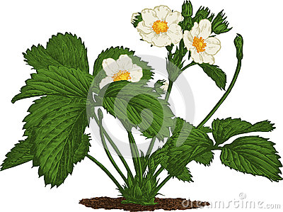 Strawberry bush. Vector