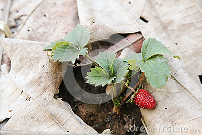Strawberry of Chiang Mai Thailand