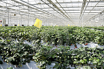 Strawberry cultivation in greenhouses.