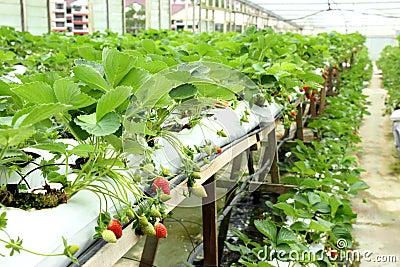 Strawberry Farm 03