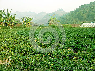 Strawberry farm in mountain