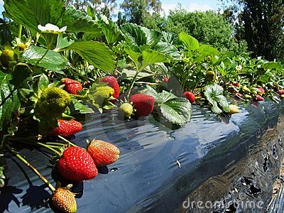 https://thumbs.dreamstime.com/x/strawberry-farm-south-australia-16748723.jpg