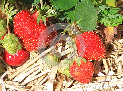 Strawberry In Field Stock Images - Image: 24743534