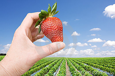 Strawberry field and hand with big berry