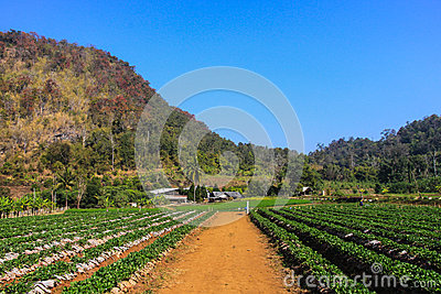 Strawberry field in the mountain