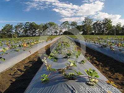 Strawberry fields at strawberry farm