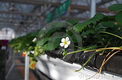 Strawberry flower in greenhouses