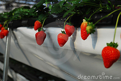 Strawberry in greenhouses