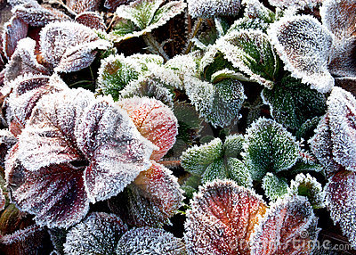 The strawberry leaves covered with the frost