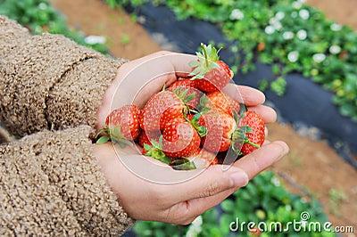 Strawberry lie in hands
