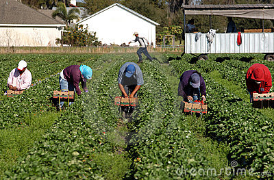 Strawberry picker workers Editorial Photo