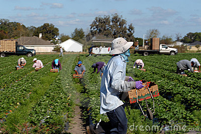 Strawberry picker workers Editorial Stock Photo