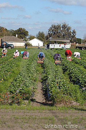 Strawberry picker workers Editorial Image