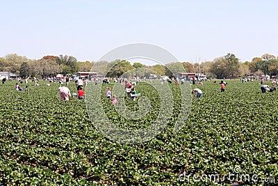 Strawberry Picking Editorial Stock Photo
