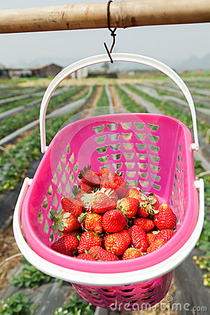 Strawberry picking,farm