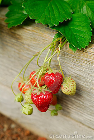 Free Strawberry Plant Stock Photography - 18811382