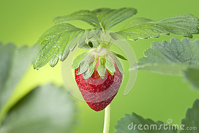 Strawberry Plant Fruit Green