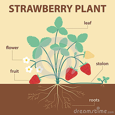 Free Strawberry Plant Royalty Free Stock Image - 57104236