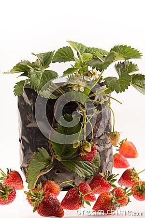 Strawberry plant white background