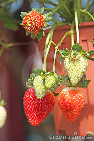 Free Strawberry Plants Royalty Free Stock Photo - 5656285