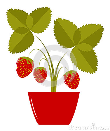 Strawberry in pot
