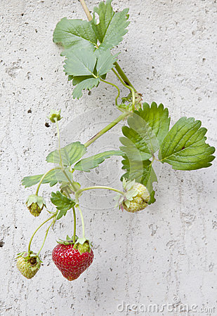 Strawberry on the wall