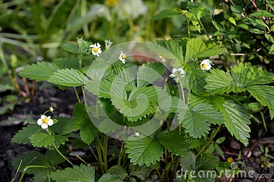 Strawberry with white flowers in city yard. Guerrilla gardening Stock Photo