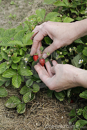 Strawberry in woman s hands