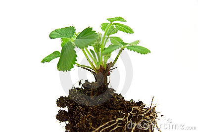 Strawberry,young plant . isolated on the white