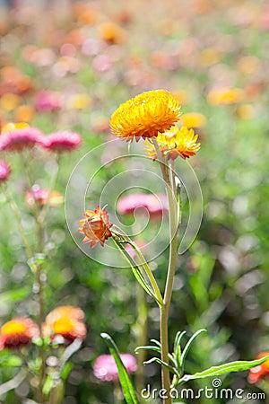 Strawflower field in Thailand