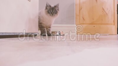 Kitten Walks through the door and looks around stock video