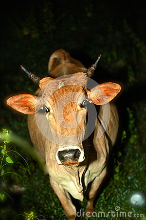 Free Stray Cow Or A Night Surprise Stock Photos - 46906063