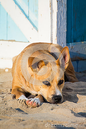 Stray dog on the sand