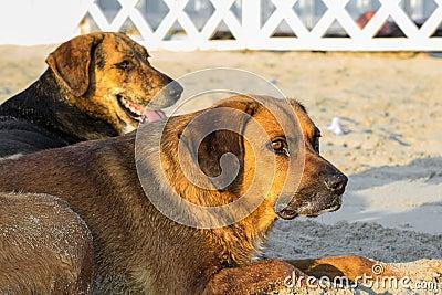 Stray dog on the sand